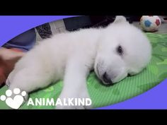 See This Baby Polar Bear Grow Up In Under 2 Minutes | Animalkind - YouTube