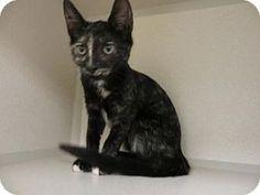 Waterford, CT - Domestic Shorthair. Meet Catnip Everdeen a Kitten for Adoption.