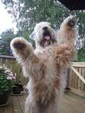 """This is the """"Wheaten Greetin' """" so common in the breed Love My Kids, I Love Dogs, Puppy Love, Cute Dogs, Wheaton Terrier Soft Coated, Unusual Dog Breeds, Terrier Mix, Terriers, Wheaten Terrier"""