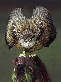 ..... This is stunning owl image, excellent photography, creativity, knowledge, intelligence, intuition .... How exciting that it would be to just view this moment in time ... time capsule from nature ... oh, how I love the wildlife, animals of our planet .... appears to be Great Horned owl #wildlife #endangered #species ...