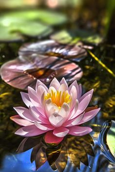 Nymphaea (water lily) is a genus of hardy and tender aquatic plants in the family Nymphaeaceae. There are about 50 species in the genus, which has a cosmopolitan distribution. Nymphaea nouchali is the national flower of Bangladesh. Exotic Flowers, Amazing Flowers, My Flower, Flower Art, Beautiful Flowers, Calla, Lily Pond, Water Flowers, Aquatic Plants
