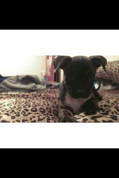 My baby. #pit #lab #puppy #puppylove #Thor