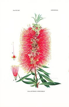 1936 Botany Print - Callistemon Speciosus - Albany Bottlebrush - Vintage Antique Flower Art Illustra