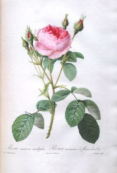 Botanical - Flower - Les Roses 9.jpg (1538×2268)