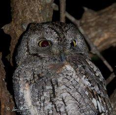 ♥ African Scops Owl 12 July 2015 ♥