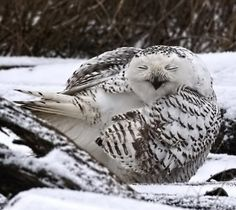 Snow Owls in Vancouver, including the one of Snowie making a face,.in Vancouver, B.C. Canada.  They have not been seen here since 2006. They are quite rare. The reasons they are here this year is mainly because of food shortages up North in the tundra, and also because of a bumper crop of Babies