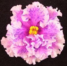 African Violet 'Bold Party Girl' - semi-double pink flowers with specks of purple fantasy and in cool weather, pale edging. Standard. Plant or leaves may be available.