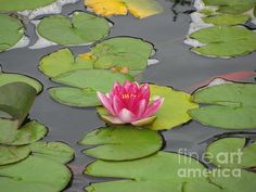 'Center of Attention' Fine Art Photography by Margaret Newcomb Photography of a single pink water lily among the greens and yellows in the lily leaves, pond photography. #pink #lily #pond #Margaret Newcomb #WaterLily #FineArt Visit my Fine Art Store to purchase Prints: http://margaret-newcomb.artistwebsites.com/art/all/all/framed+prints