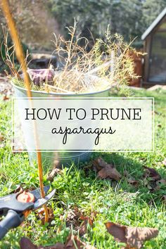 The simple way to prune asparagus (plus growing tips) and have healthy plants year after year! - Gardening For Today Veg Garden, Fruit Garden, Edible Garden, Garden Fun, Vegetable Gardening, Asparagus Farm, Asparagus Plant, Perennial Vegetables, Growing Vegetables