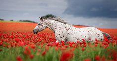 La fotografa tedesca Wiebke Haas ha ritratto con dei bellissimi scatti fotografici l'incredibile fascino e la possente fisicità dei cavalli.