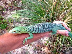 Blue Tree Monitor Lizard | ... Life Of The Girl Next Door: Reptile Series: Green Tree Monitor