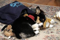 Tricolor corgi puppy- looks like Rugby!
