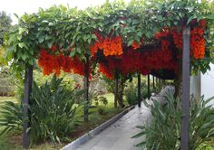 https://flic.kr/p/mPCqx6 | Flame of the forest vine . . . | Red jade vine (Mucuna bennetti), Fabaceae family, at Instituto Santa Marcelina, Lago Sul, Brasília.