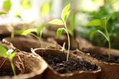 ➤ Pruning your tomato plants leads to better yield and bigger fruit. Learn how to trim tomato plants in this post. Pruning Tomato Plants, Tomato Seedlings, Baby Tomatoes, Green Tomatoes, Backyard Vegetable Gardens, Tomato Garden, Tips For Growing Tomatoes, Tomato Farming, Cool Plants