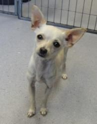 36215_Posy is an adoptable Chihuahua Dog in Oakland, CA. I'm tiny - really- I weigh in at 4 lbs 5 oz and I'm 2 years old. My name is Posy and I'm pretty low maintenance. I love to take my naps and the...