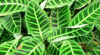 How to Care for a Calathea Plant   eHow