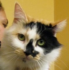 Peggy is an adoptable Calico Cat in Seattle, WA. Meet Peggy, a fluffy, affectionate bundle of calico splendor. At about 9 months old, this beautiful girl is still quite the kitten, full of fun, affect...