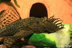 Bushy Nose Pleco. they also have long fin, albino and gold with dark eyes. the males have the beard. the male cares for the eggs and fry in the cave or log and then kicks them out when they are ready to fend for themselves