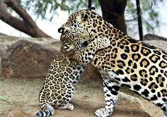 """BIOSFERA: """"Onça-pintada""""... O maior felino das américas!"""