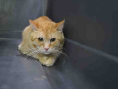 TILLO - A1084700 - - Manhattan  ***TO BE DESTROYED 08/20/16*** TILLO'S OWNER DIED AND THE FAMILY CALLED THE POLICE TO BRING TO THE ACC!! How terrifying an ordeal that must have been for poor TILLO! First his owner, who he probably loved and was the only person he was familiar with dies – then when he was afraid of the daughter she called the police to trap and cart TILLO off to the ACC. TILLO is very upset and you can see why. He is now in a scary place- caged &