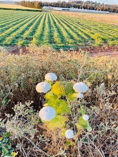 Calander, Vineyard, Pumpkin, Green, Outdoor, Outdoors, Pumpkins, Vine Yard, Vineyard Vines