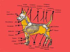 Criador de perros de la raza chihuahua con afijo De Alba Dog. Tema: Esqueleto…