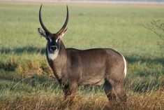 The waterbuck (Kobus ellipsiprymnus) is a large antelope found widely in sub-Saharan Africa. Description from imgarcade.com. I searched for this on bing.com/images