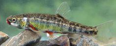 Upinė rainė Phoxinus phoxinus 12-14 cm  B. KARPIAŽUVĖS – CYPRINIFORMES  ŠM. Karpinės – Cyprinidae