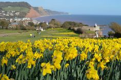 The 'valley of a million bulbs' Sidmouth | South Devon | England