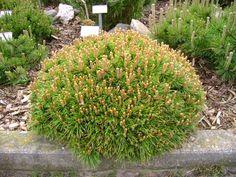 Pinus mugo 'Benjamin', Dvärgbergtall. Flatrund form.  Höjd: 0,5-0,7 m.  Zon III?