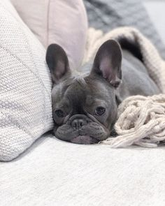 French Bulldog Puppy Facts On The Playful Frenchie Dog Grooming French Bulldog Pictures, Fawn French Bulldog, French Bulldog Puppies, French Bulldogs, Cute Puppies, Cute Dogs, Dogs And Puppies, Puppy Facts, Sleepy Dogs