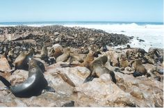 Cape Cross in Namibia is a home to one of the largest colonies of Cape Fur Seals in the world. Game Reserve, Seals, Continents, Geography, Colonial, Cape, Coastal, Wildlife, Africa
