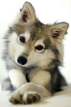 Alaskan Husky Alaskan klee kai - miniature husky that doesnt get more than about tall. - Alaskan Husky Alaskan klee kai - miniature husky that doesnt get more than about tall. Cute Baby Animals, Animals And Pets, Funny Animals, Wild Animals, Animals Images, Cute Animals Puppies, Super Cute Animals, Happy Animals, Funny Cats