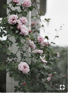 photo: å.myrberg  rose: gerbe rose