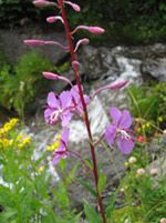 Wildflowers near rushing river in Pagosa Springs, CO