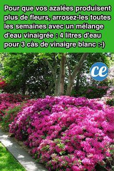 L'Astuce+Magique+Pour+Que+les+Azalées+Produisent+BEAUCOUP+Plus+de+Fleurs. Container Gardening, Gardening Tips, Garden Deco, Horticulture, Backyard Landscaping, Natural, Landscape, Green, Plants