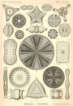 Ernst Haeckel ~ Art Forms in Nature / Sacred Geometry ~ Diatoms such as in Diatomaceous Earth Art Et Nature, Nature Prints, Art Prints, Nature Study, Nature Decor, Illustration Botanique, Botanical Illustration, Botanical Drawings, Abstract Drawings