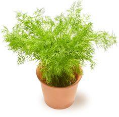 Tilli | Oksasen Puutarha Shrubs, Perennials, Trees, Garden, Flowers, Plants, Garten, Tree Structure, Lawn And Garden