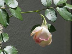 Garden Tour of My Soulful Home The anticipation awaiting the blooming of an Eden Climber rose...read about them @ www.mysoulfulhome.com