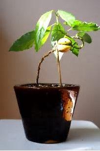 Risultato immagine per Avocado Bonsai