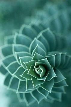 The math and geometry found in nature - Succulent Cacti And Succulents, Planting Succulents, Planting Flowers, Succulents Wallpaper, Succulent Seeds, Patterns In Nature, Textures Patterns, Nature Pattern, Fotografia Macro