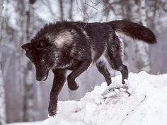 The black wolf pouncing in the snow.