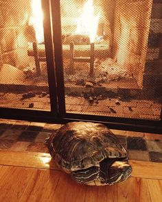 """Toasty Turtle Tocks: """"This is a photo of my Red Eared Slider, Jamie, enjoying the fireplace on a chilly November afternoon!"""" -Fiona C. Snake Turtle, Turtle Reptile, Tortoise Turtle, Turtle Love, Yellow Bellied Slider, Red Eared Slider, Tortoise Habitat, Reptiles And Amphibians, Tortoises"""
