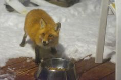 Red Fox on the Deck eating the dog's food at night. Taken through glass and screen at ISO 2000 plus.   Dogs have allergies much the same as we do, Could you identify a dog with allergies..