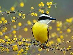 Little yellow bird