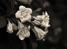Sobre flores. Fotos: Alyogyne, conhecida como Hibiscus Lilás; Trepadeira, Akebia Quinata, arbusto do Japão; Abelia, arbusto de flores brancas a cor-de-rosa