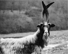 wild goat keeping his antlers crossed....