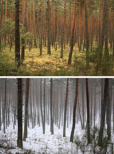 Las condiciones de la Sierra, más fresca y húmeda que las mesetas, y su menor transformación por la actividad humana, han convertido a estas montañas en un privilegiado refugio de biodiversidad. En la imagen, arriba, interior de un pinar con helechos en la vertiente segoviana en octubre de 2013, abajo, en enero de 2014.