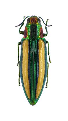 Chrysochroa lepida. Collection of the Royal Belgian Institute of Natural Sciences