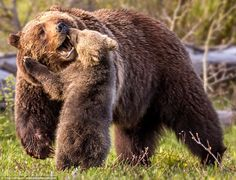 Bear hug: Junior sticks the landing and even reaches up to give mama bear a hug as she carries on walking forward through the shrubbery